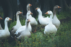 Geese in field Royalty Free Stock Image