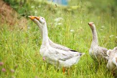 Geese on the field. A herd of beautiful white geese walking in a meadow near a farmhouse Stock Photography