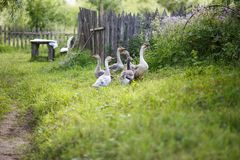 Geese on the field. A herd of beautiful white geese walking in the village Stock Images