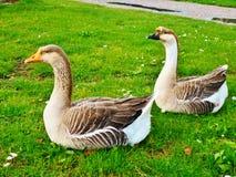 Geese in field, Sandro Pertini Park, Tuscany, Italy stock image