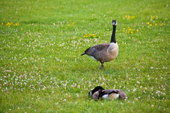 Geese in a field Stock Images