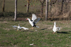 Geese fighting Royalty Free Stock Image