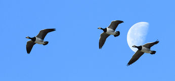 The Geese Flew Over The Moon. Three Barnacle Geese fly across the sky in front of the moon stock image