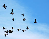 Geese in flight. Geese flying in blue sky in v formation Royalty Free Stock Image