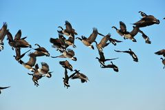 Geese in flight Stock Photo
