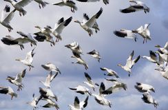 Geese in the flight 2 Royalty Free Stock Photo