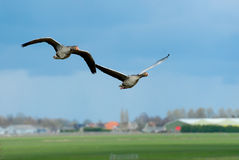 Geese in flight Royalty Free Stock Photos