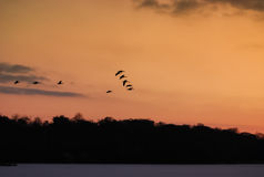 Geese in flight Stock Photography