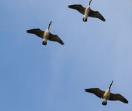 Geese in Flight Royalty Free Stock Photography