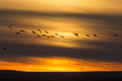 Geese in Flight Sunset Stock Photos