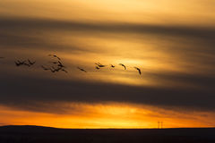 Geese in Flight Sunset Royalty Free Stock Photography