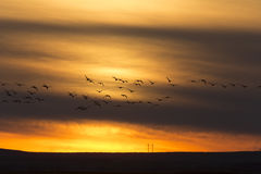 Geese in Flight Sunset Stock Images