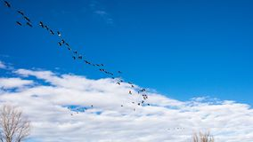 Geese in flight in v formation stock images