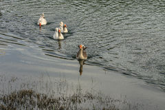 Geese. Floating on the river Royalty Free Stock Images