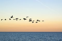 Geese flock Stock Photography