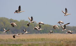 Geese flock Stock Images