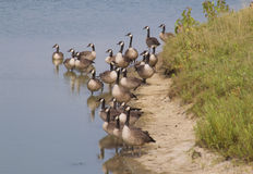 Geese. A flock of geese on the bank Royalty Free Stock Images