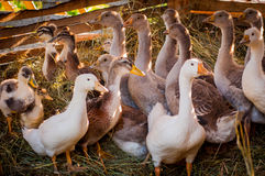 Geese. A flock of geese hiding in the hay in the barn on the farm Stock Photo