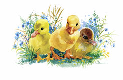 Geese flock swimming on pond watercolor vector illustration Royalty Free Stock Photo