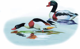 Geese flock swimming on pond watercolor vector illustration Stock Photo