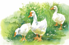 Geese flock swimming on pond watercolor vector illustration Stock Photography