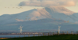 Geese Fly over the Solway Firth Stock Photo