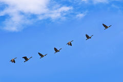 Geese fly south Royalty Free Stock Photos