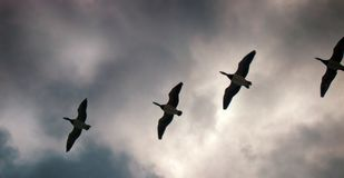 Geese fly South wedge pack (skein). Gabriel's hounds. Phenology of autumn life. Barnacle goose fly South wedge pack (skein) and sad cries, geese bring sadness to Stock Photos