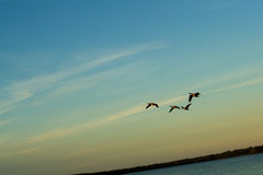 Geese flying. Over lake on sunset Stock Photo