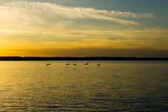Geese flying. Over lake on sunset Stock Photos