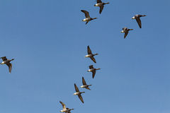 Geese flying against a clear blue sky Royalty Free Stock Photo