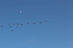 Geese flying against the sky royalty free stock image