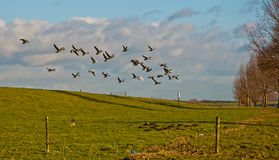 Geese flying away from a Dutch dike Stock Images