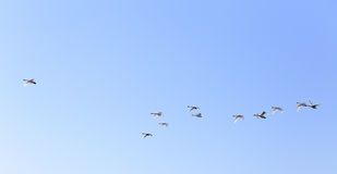 Geese flying in blue spring sky Stock Photography