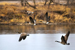 Geese Flying a Royalty Free Stock Image