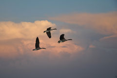 Geese Flying in the Evening Stock Image