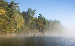 Geese Flying Into the Fog. On a sunny autumn day on a northern lake Stock Photo