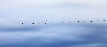 Geese flying in formation against an evening sky Royalty Free Stock Images