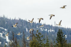 Geese flying in formation. Stock Images