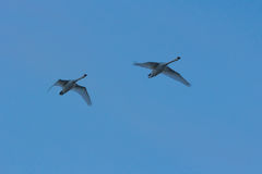 Geese flying. Stock Images