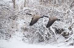 Geese Flying after a Fresh Snowfall Stock Photography