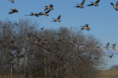 Geese flying Stock Photos