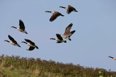 Geese flying. On the lakes area of Western Michigan Royalty Free Stock Photos