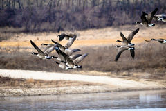 Geese Flying Low stock photos