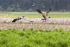Geese flying off. Stock Images