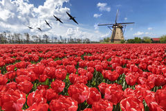 Geese flying over endless red tulip farm. Egyptian geese flying over the endless red tulip bulb farm during the spring and tulips blooming season in Netherlands Royalty Free Stock Photo
