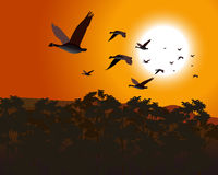 Geese flying over a forest at sunrise/sun royalty free stock photo