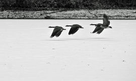 Geese flying over a frozen lake. A flock of geese flying over a frozen lake Stock Images