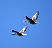 Geese flying Royalty Free Stock Images