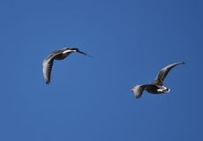 Geese flying Royalty Free Stock Photo